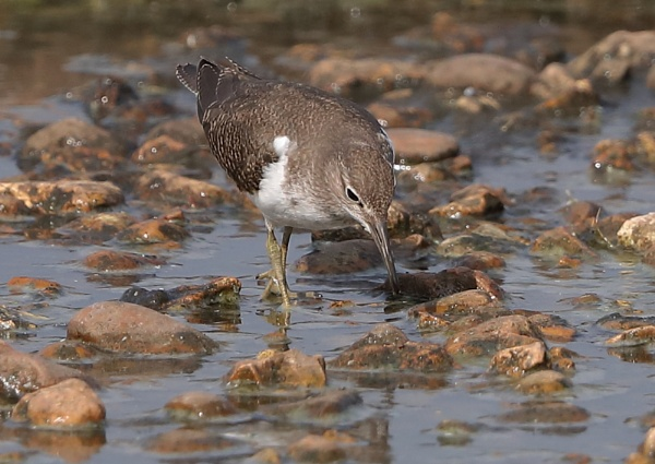 Common Sandpiper by NeilSchofield