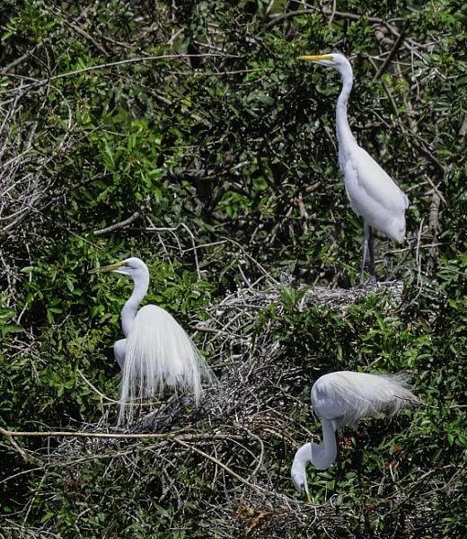 great egret by jimlad