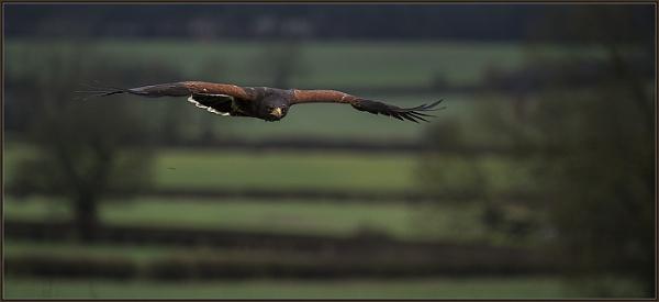 Harris Hawk in Flight by ugly