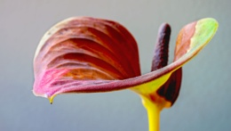 Anthuriam leaf