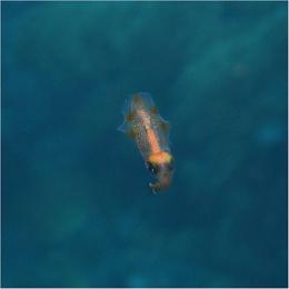 Bigfin Reef Squid (Juvenile) Sepioteuthis Lessoniana