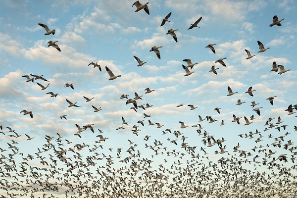Take off Snow Geese by rontear