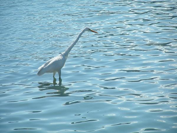 Great Egret in Zakynthos Harbour by TonyDy