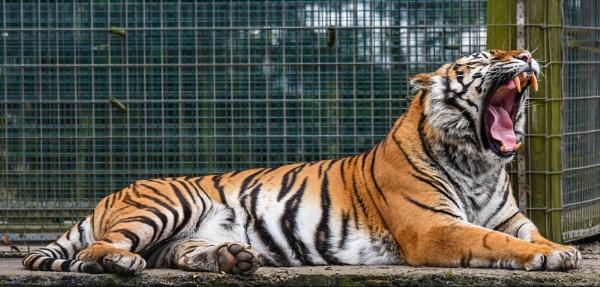 Yawning tiger by jonkennard