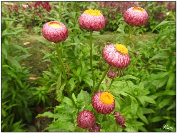 Buds and Flowers - 104 by RajaSidambaram