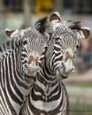 Grevy's Zebras by Alan_Baseley