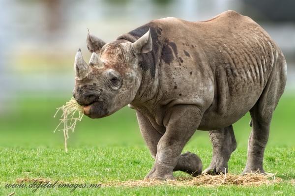 Rhino by Alan_Baseley