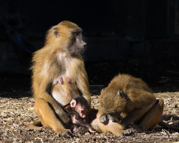 Guinea Baboons by Alan_Baseley