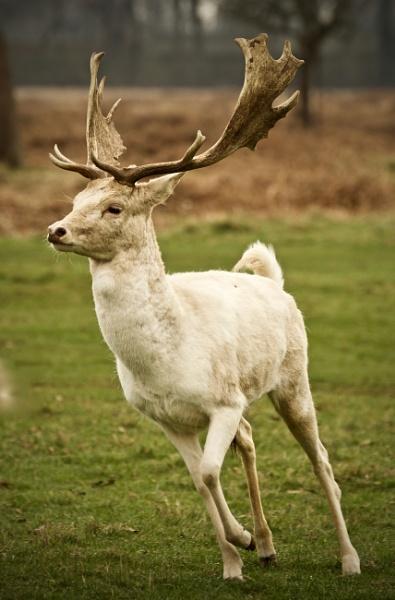 deer by tpfkapm