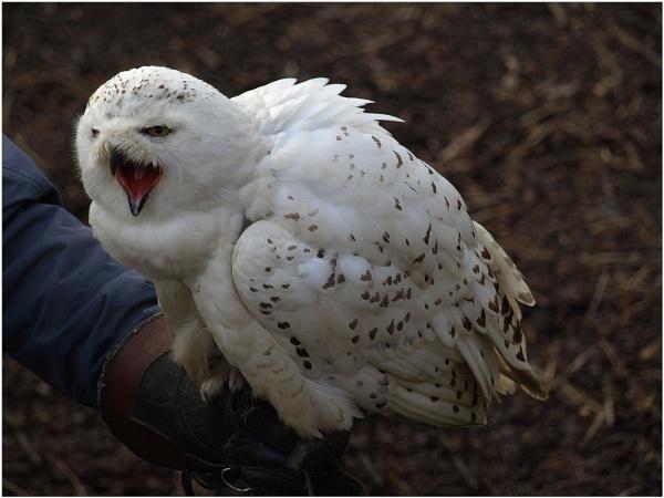 Snowy Owl by fificat100