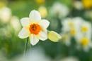 Elsham Daffodils by lee beel