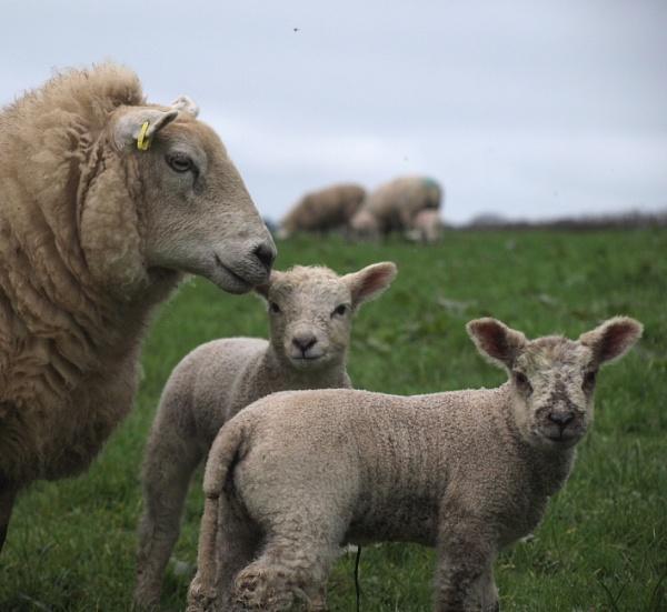 Twin lambs by JuBarney