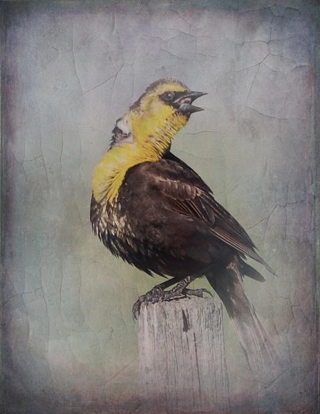 Yellow-headed Blackbird by StrayCat