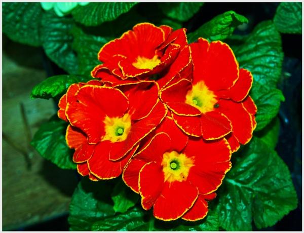 PRIMROSE IN FLOWER. by kojack