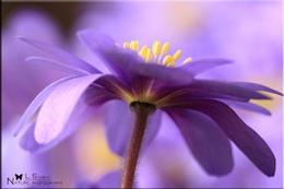 Lavender Anenome