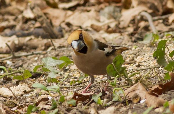 Male Hawfinch by ali63