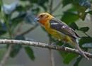 "Female Baltimore Oriole ""Icterus Galbura"", Costa Rica by brian17302"