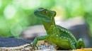 Emerald Basilisk Lizard, Costa Rica by brian17302