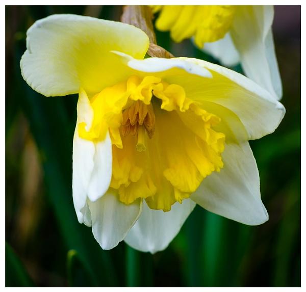 Daffodil\'s 2 by Nikonuser1
