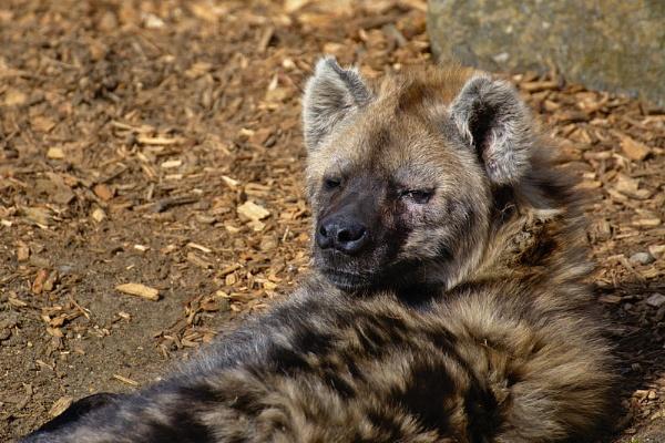 Spotted Hyena by jander01