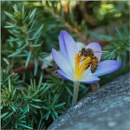Crocus and Honey Bee by taggart