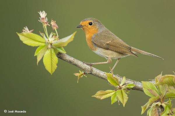 Robin (Erithacus rubecula) by lord_macedo