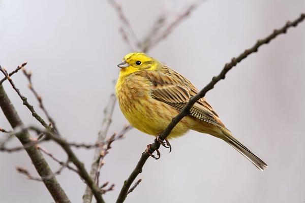 Yellowhammer--Emberiza citrinella. by bobpaige1