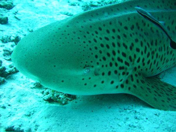 Leopard shark by mikekay