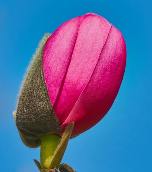 Bursting Magnolia Bud by JJGEE