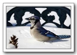 *** Blue Jay ***