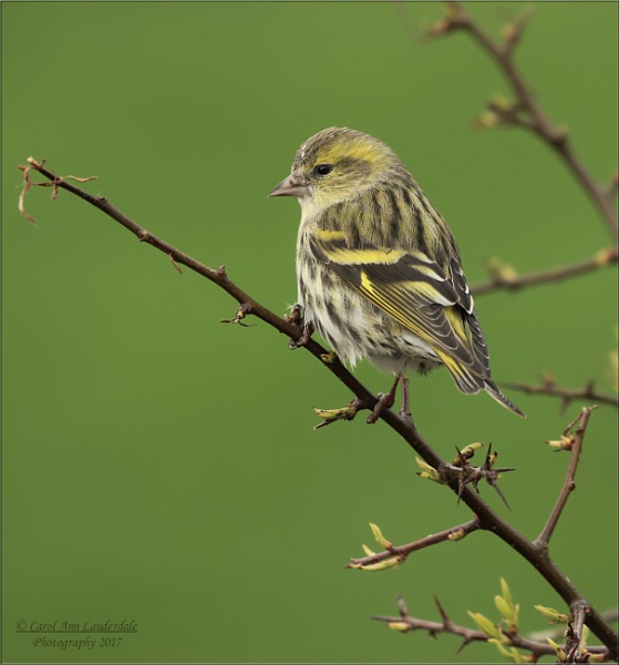 SISKINS by canoncarol