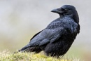Raven by John_Wannop