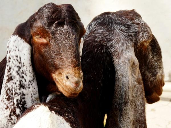 Goats by Savvas511