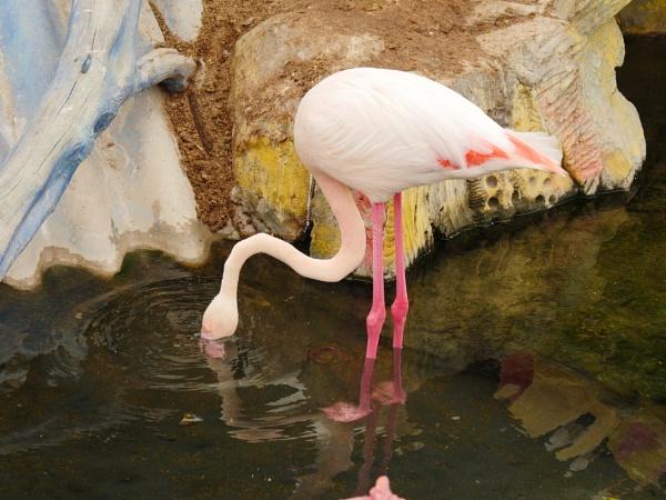 Flamingo by Savvas511