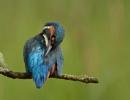 Kingfisher Preening by KBan