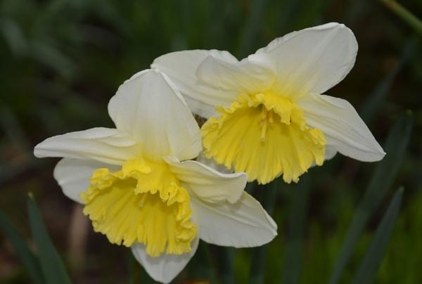 ** Daffodils ** by Rock
