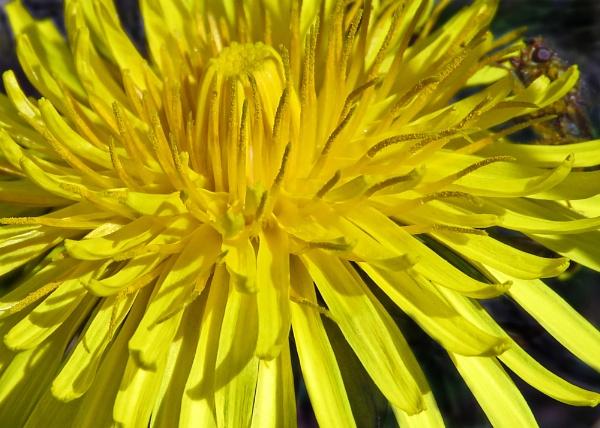 First Dandelion by KarenFB