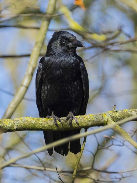 Mr Crow by chensuriashi