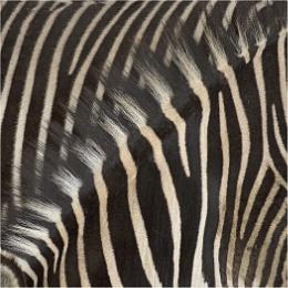 Two Zebras One Mane.