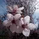 ornamental cherry blossom by CarolG