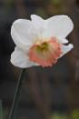 Pink Daffodil by Squirrel