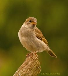 Sparrow. 2785