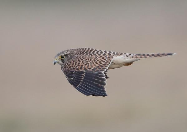 Kestrel Fly Past by NeilSchofield