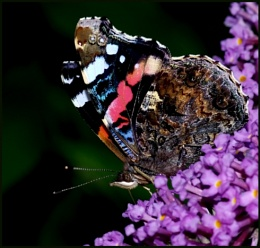 Red Admiral Nectaring.