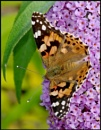 """""""Painted Lady"""". by Badgerfred"""