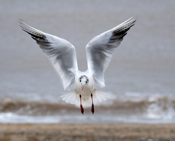 Black headed gull landing. by paulbroad