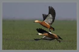 Flying & Sitting Ducks