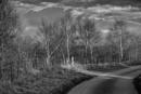 """Sunlit Birch"" by Willmer"