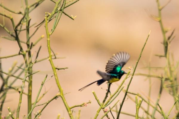 Nile Valley Sunbird takes flight by WorldInFocus