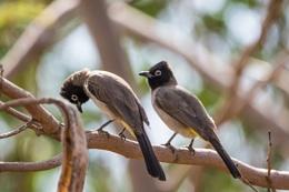 A pair of Bulbul